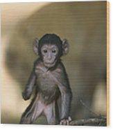 Barbary Macaque Macaca Sylvanus Infant Wood Print