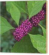 Beauty-berry Wood Print