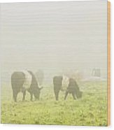 Belted Galloway Cows Grazing On Foggy Farm Field Maine Wood Print