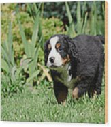 Bernese Mountain Dog Puppy Portrait Wood Print