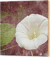 Bindweed - The Wild Perennial Morning Glory Wood Print
