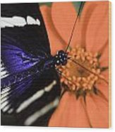 Blue And White Longwing Wood Print