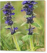 Blue Bugle (ajuga Genevensis) Wood Print