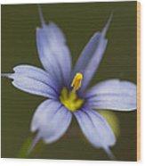 Blue-eyed Grass Wildflower - Sisyrinchium Angustifolium Wood Print