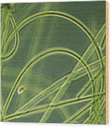 Blue-green Algae Wood Print by Sinclair Stammers