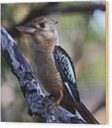 Blue-winged Kookaburra Wood Print