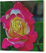 Blushing Rose Wood Print