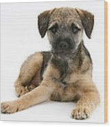 Border Terrier Puppy Wood Print