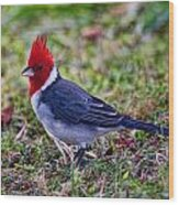 Brazillian Red-capped Cardinal Wood Print