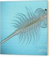 Brine Shrimp Wood Print