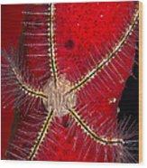 Brittle Star On Sponge, Belize Wood Print
