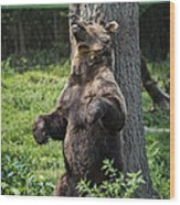 Brown Bear Itch Wood Print