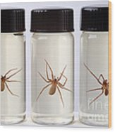 Brown Recluse Spider Wood Print