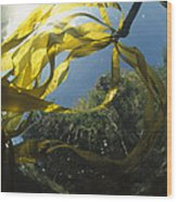 Bull Kelp Underwater Clayoquot Sound Wood Print
