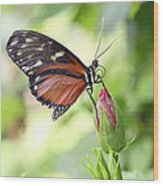 Butterfly Resting Wood Print