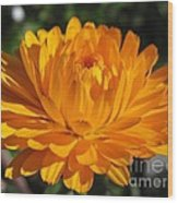 Calendula Named Bon-bon Orange Wood Print