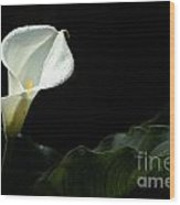 Calla Lily Against Black Wood Print