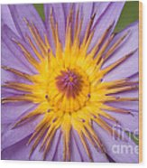 Cape Blue Waterlily Nymphaea Capensis Wood Print