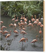 Caribbean Flamingos At The Zoo Wood Print