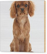 Cavalier King Charles Spaniel Puppy Wood Print