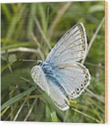 Chalkhill Blue Butterfly Wood Print