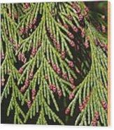 Chamecyparis Lawsoniana Wood Print