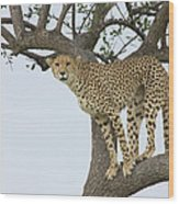 Cheetah Acinonyx Jubatus Female Wood Print