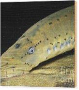 Chestnut Lamprey Wood Print