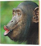 Chimpanzee Pan Troglodytes Adult Female Wood Print