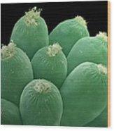 Ciliate Protozoans, Sem Wood Print