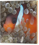Cinnamon Clownfish In Its Host Anemone Wood Print