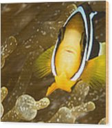 Clarks Anemonefish Among An Anemones Wood Print by Tim Laman
