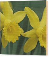 Close View Of Early Spring Daffodils Wood Print