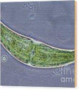 Closterium Sp. Algae Lm Wood Print by M. I. Walker