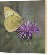 Clouded Yellow Butterfly Wood Print