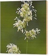 Cocksfoot Grass (dactylis Glomerata) Wood Print
