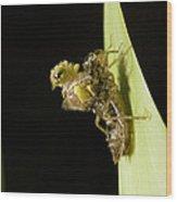 Common Darter Dragonfly Metamorphosis Wood Print