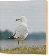 Common Gull Wood Print