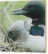 Common Loon, La Mauricie National Park Wood Print