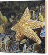 Common Starfish Feeding Wood Print