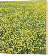 Corn Marigolds (chrysanthemum Segetum) Wood Print