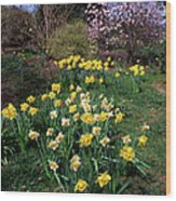 Daffodils (narcissus Sp.) Wood Print
