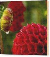Dahlia Bud With Dew Wood Print