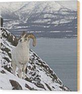 Dall Sheep Ovis Dalli Ram, Yukon Wood Print