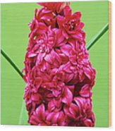 Double Hyacinth 'hollyhock' Wood Print