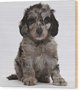 Doxie-doodle Puppy Wood Print