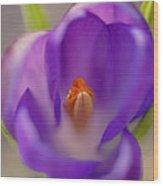 Dutch Crocus Crocus Vernus Flower Wood Print