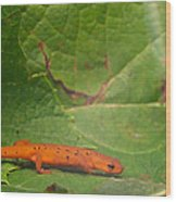 Easterm Newt Nnotophthalmus Viridescens 15 Wood Print