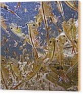 Eastern Fairy Shrimp Easterbrook Forest Wood Print