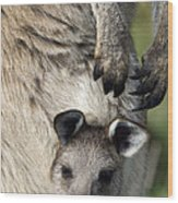 Eastern Grey Kangaroo Joey Wood Print
